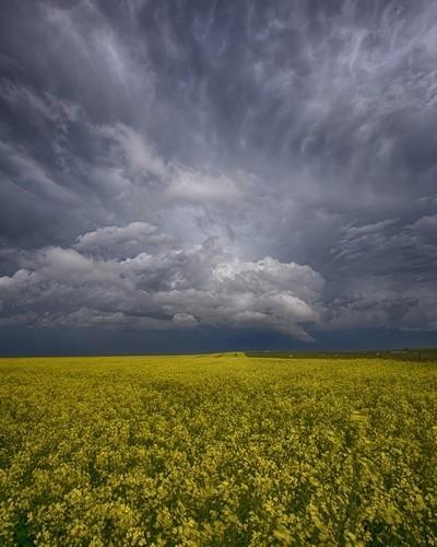 The Prairie Wears Yellow