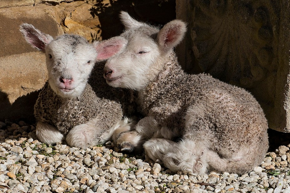 3 Day old orphaned lambs, taken in by the owners of the property and will live the good life as pets. You can't tell me they're not smiling