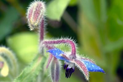 Borago officinalis - Common Borage or Beebread