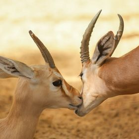 Caught this beautiful moment between two gazelles. It looked likeMum was communicating some sort of affection.