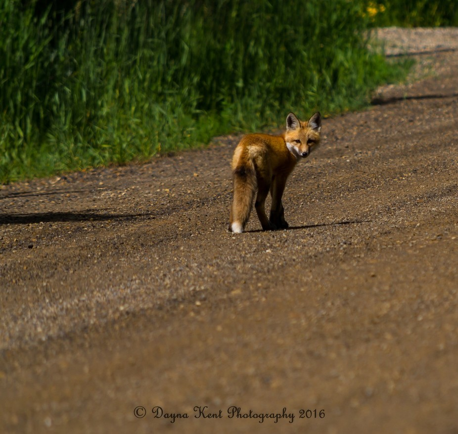 I made friends with a curious fox kit, along a lonely country road in Dawson Creek BC He allowed ...