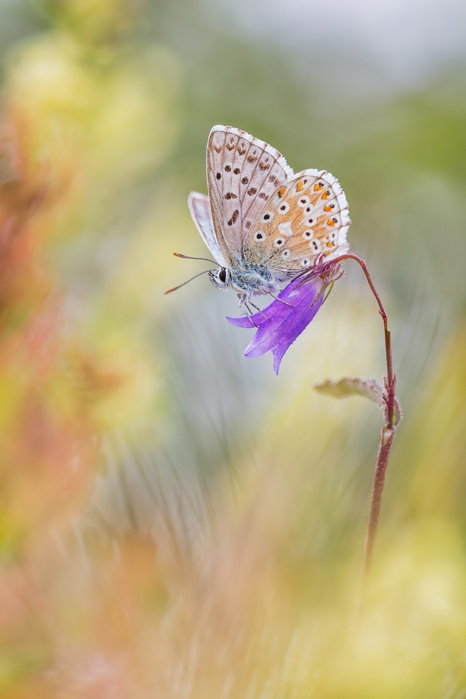 ~ Flower Ride ~ by HenrikSpranz - Beautiful Butterflies Photo Contest