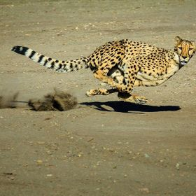 Cheetah Run | Animal Ark, Reno, NV
