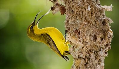 Sunbird on nest close