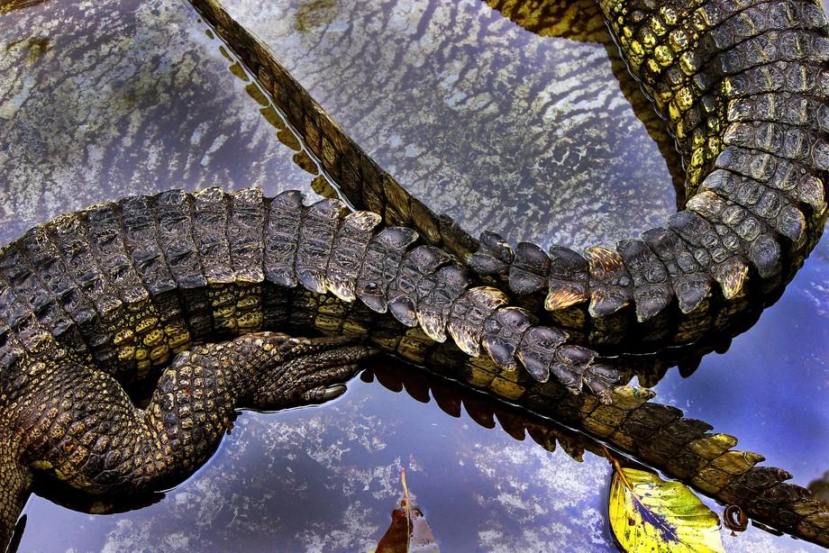 Zoom in on crocodile tales