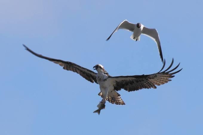 Hopeful Gull with Osprey