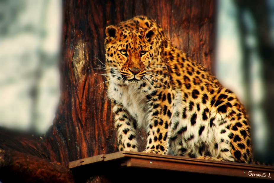 Just like a watchtower guard, this magnificent leopard was observing its surrounding area.