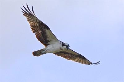 Osprey_0053