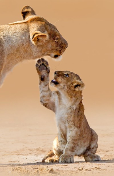 Lions of Savuti 02a-2