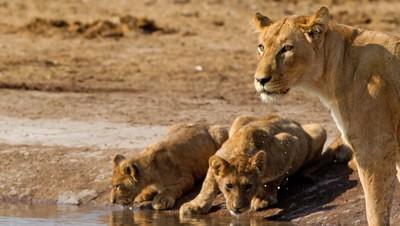 Lions of the Savuti