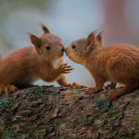 Red squirrel (Sciurus vulgaris)  This summer has been the most fun in all the years I've lived here, when it comes to squirrels.  For some r...