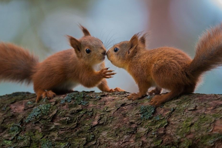 Red squirrel (Sciurus vulgaris)  This summer has been the most fun in all the years I've...