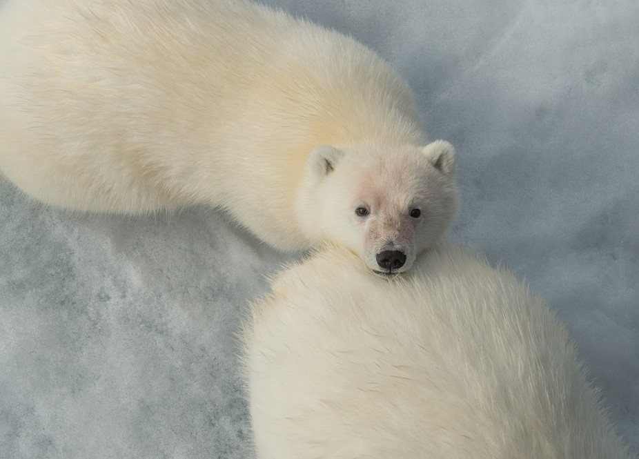 Polar bear (Ursus maritimus)  The encounter of this cub and her mother on the edge of the sea ice...