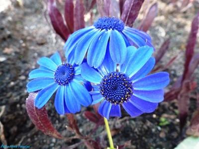 Deep Blue Flowers