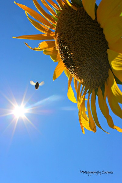 Prayer's for Maria, Sunflower Field.