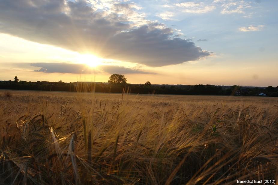 Cornfield in low Sun