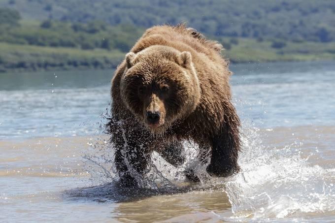 In Pursuit by zachishtain - Wildlife Photo Contest 2017