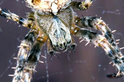 Garden Spider (Araneus diadematus) 4