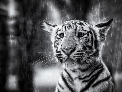 Sad rainy cub