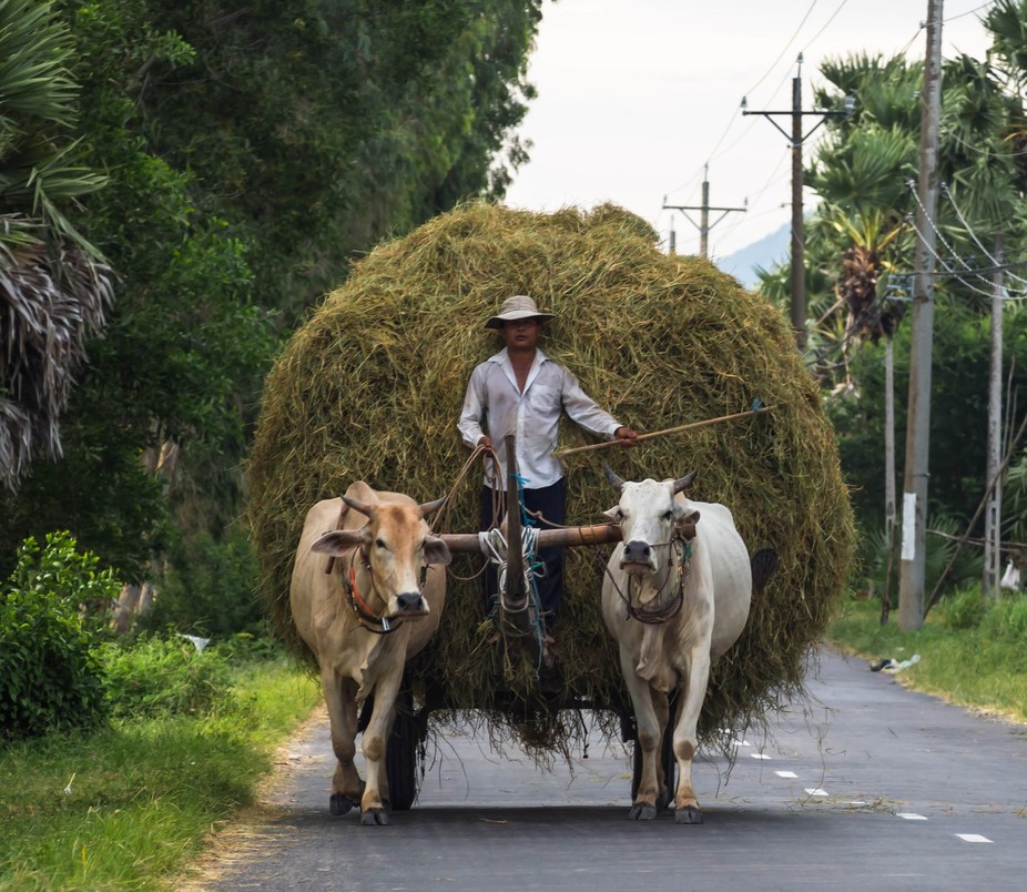 It is quite rare to spot this scene with cows carrying a cart full of hay in the middle of the ro...