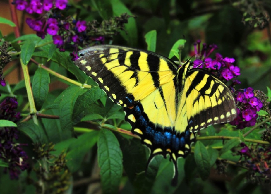 Swallowtail show-off!