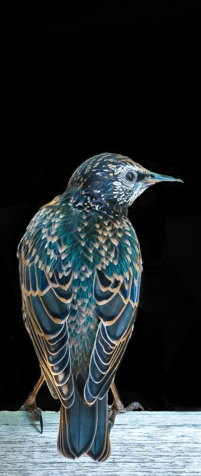 Starling Turning