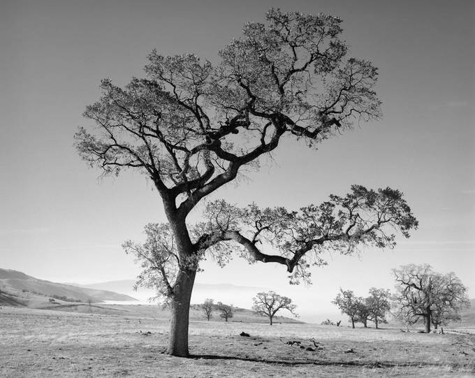 Oak Tree & Valley Fog by gosmundson - Tree Silhouettes Photo Contest