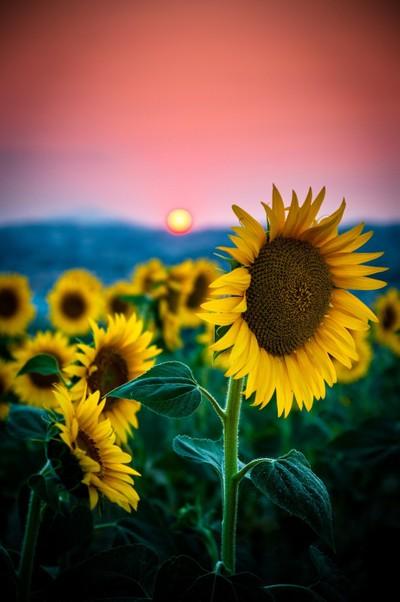 hi, my name is sun, sun flower