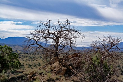 New Mexico Shrub