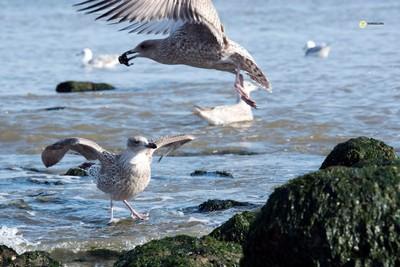 European Herring juvenile gulls, squabbling, Scheveningen beach