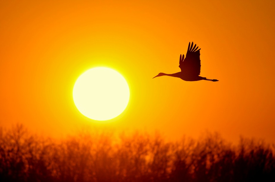 Sandhill crane in flight at Jasper Pulaski State Park during migration.