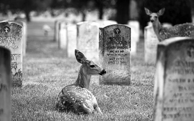 Came across these fawns in the military cemetary