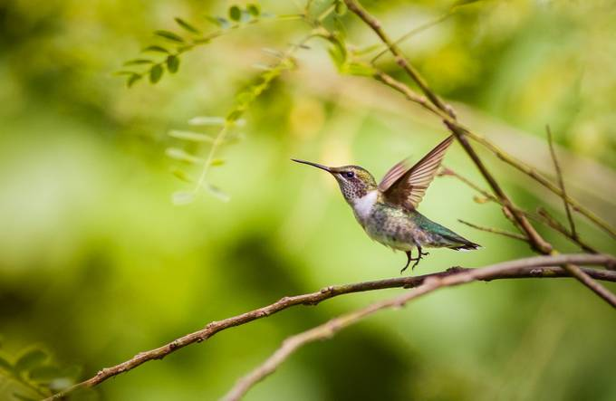 Ruby-throated Hummingbird Liftoff by troymarcy - Hummingbirds Photo Contest