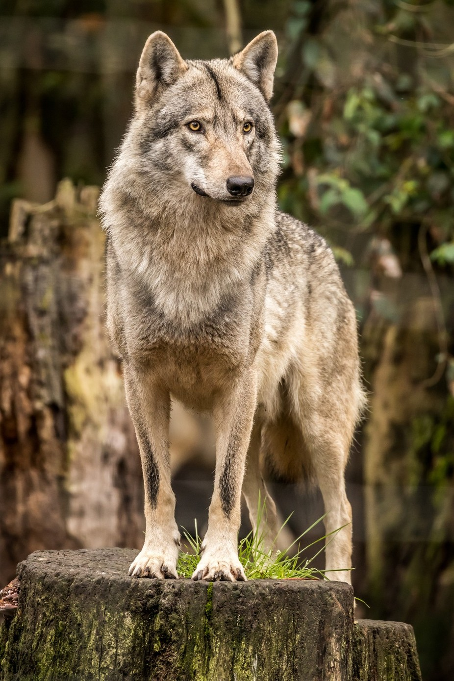 Wolf by Ncolson - Wolves Photo Contest