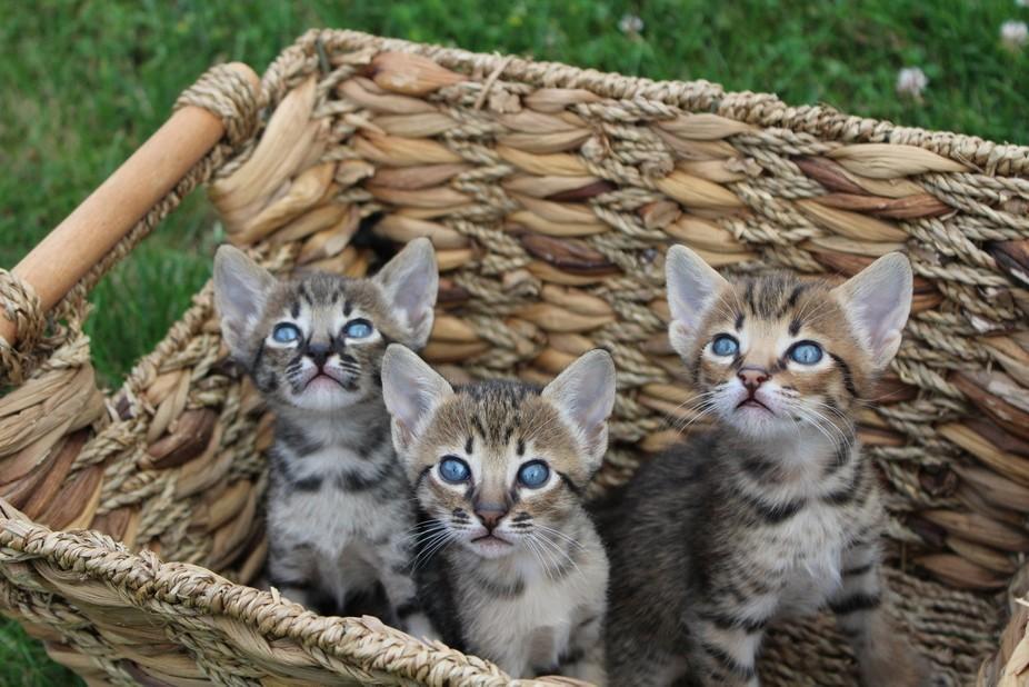 Savannah kittens in a Basket.