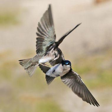 Tree Swallow IMG_8950
