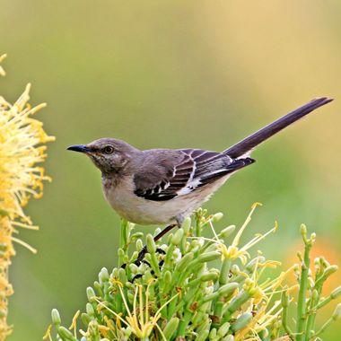Northern Mocking Bird IMG_7854