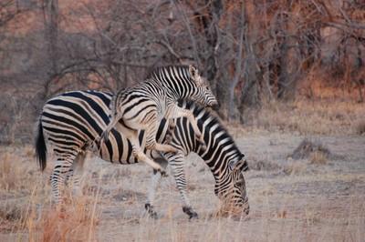 Estatic Baby Zebra