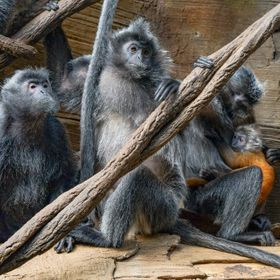 Photographed in Jungle World at the Bronx Zoo. The exhibit has a great back drop with ceiling window panes that diffuse the light for a perfect i...