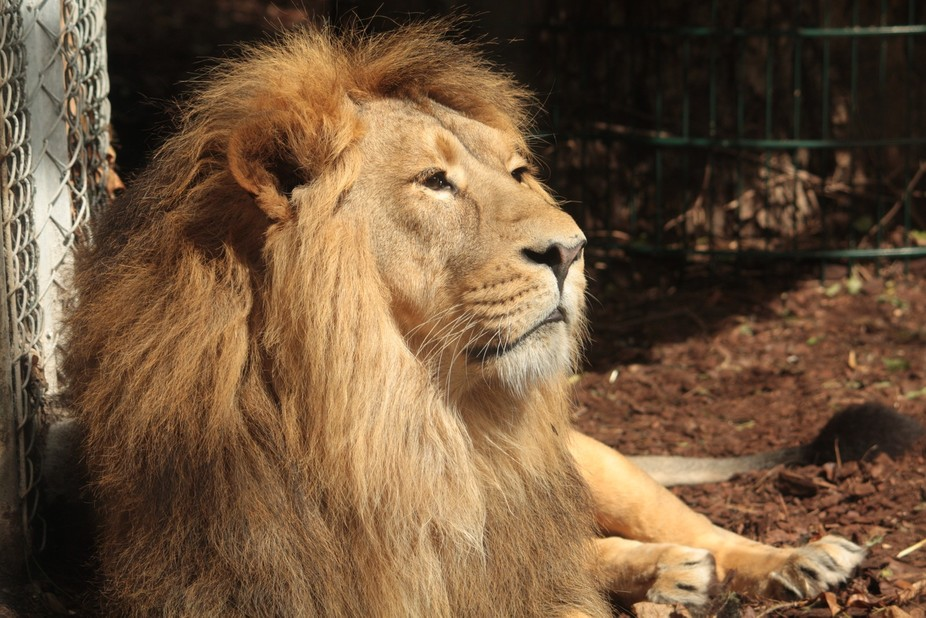 The lions at Bristol Zoo have large glass windows so they can be viewed, but this makes getting g...