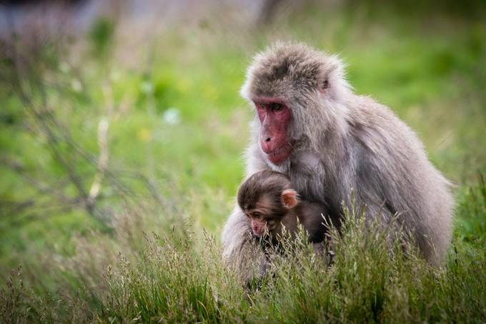 highland-wildlife-park-173 by ollybowman - Monkeys And Apes Photo Contest