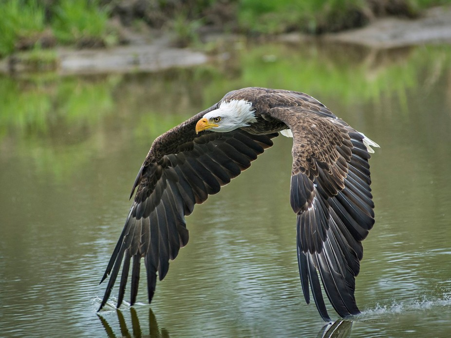 Bald Eagle flying over water. I loved that the eagle was dragging his wings in the water.