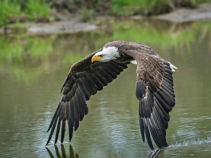Bald Eagle by josephleduc - Majestic Eagles Photo Contest