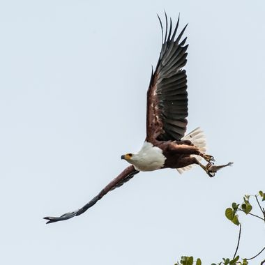 Eagle with fish, Lake Baringo
