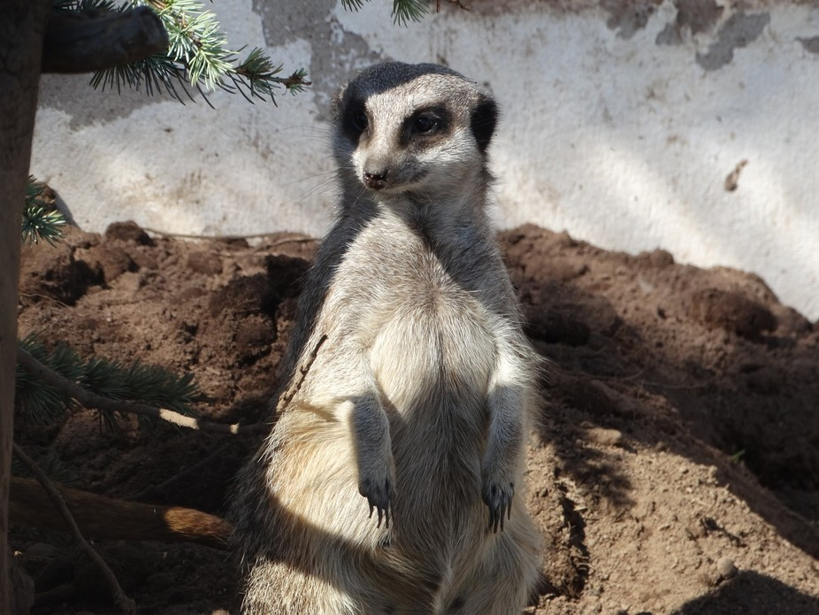 I so love Meerkats and when they stand to attention you just have to take a photo