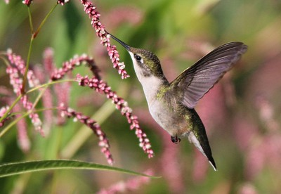 Hummingbird on Wildflowers