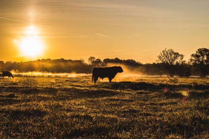 The Cow by jakobhallaert - Mist And Drizzle Photo Contest