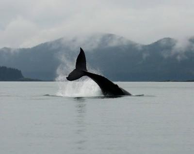 Humpback Whale Socializing-8022