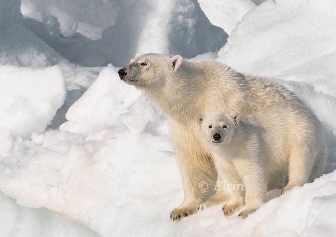 polar bears by Elchin_Jabbarov - Can You See Me Photo Contest