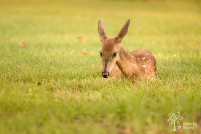 The Resting Fawn
